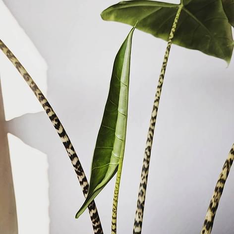 Unfolding Alocasia Zebrina leaf