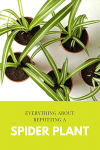 Everything about repotting a spider plant