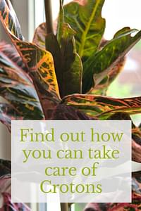 How to care for Crotons