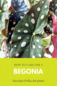 How to care for a Begonia Maculata (Polka dot plant)