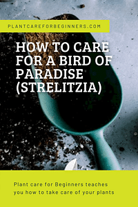 How to care for a Bird of Paradise (Strelitzia)