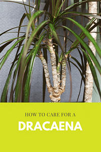 How to care for a Dracaena