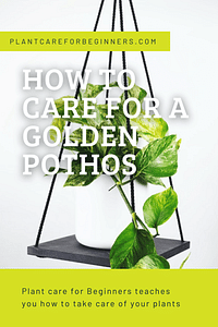 How to care for a Golden Pothos