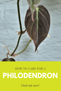 How to care for a Philodendron