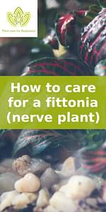 How to care for a fittonia (nerve plant)