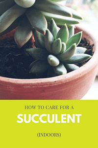 How to care for a succulent (indoors)
