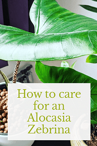 How to care for an Alocasia Zebrina