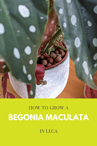 How to grow a Begonia Maculata in Leca