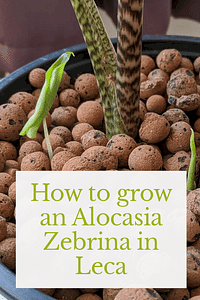 How to grow an Alocasia Zebrina in Leca