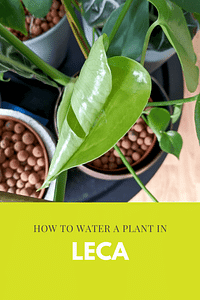 How to water a plant in Leca
